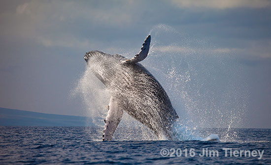 A beautiful shot of a whale breaching in Maui